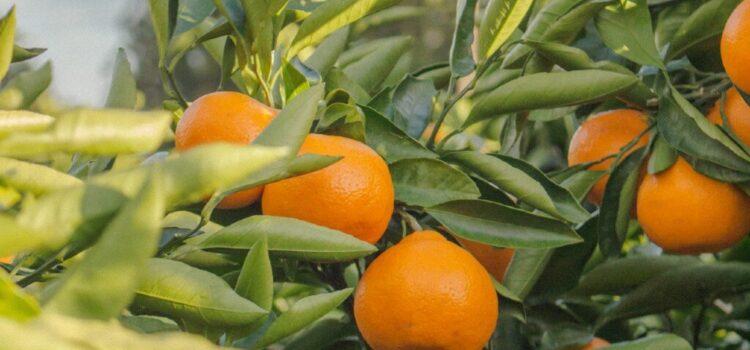 Fresh.Land leverer frisk frugt direkte fra træerne til dig